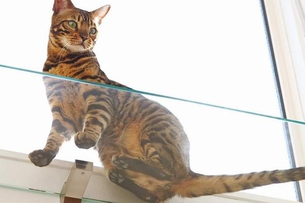猫の肉球をぞんぶんに楽しめるクリアガラスのキャットウォーク
